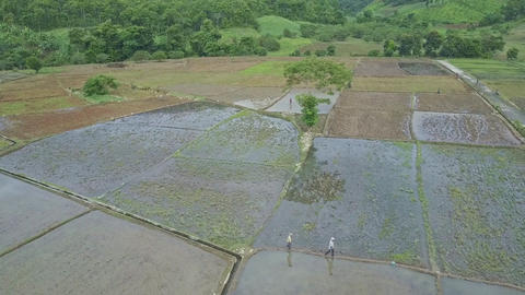 Drone View Men Walk between Rice Fields against Tropical Nature Footage