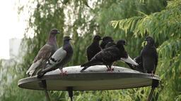 30 pigeon Image