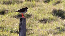 Redshank Footage