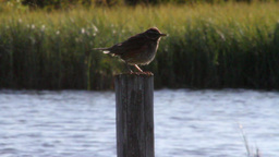Meadow Pipit Footage