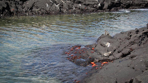 Crabs and Marine Iguanas Footage
