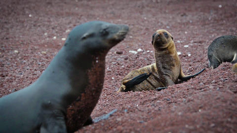 Four Galapagos Sea Lions Live Action