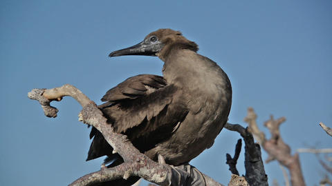 Juvenile Red Footed Booby Live Action