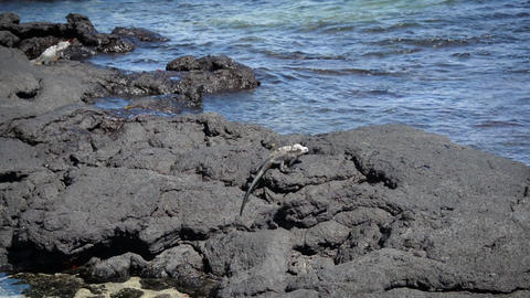 Marine Iguana Walking Footage