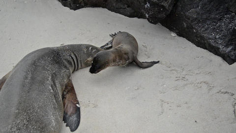 Galapagos Sea Lions stock footage