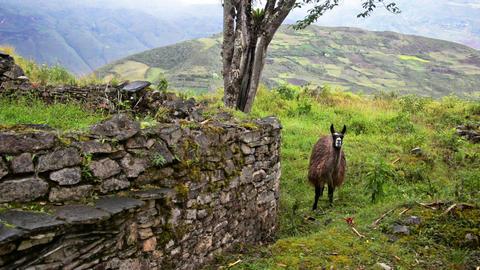 Llama and Ruins Footage