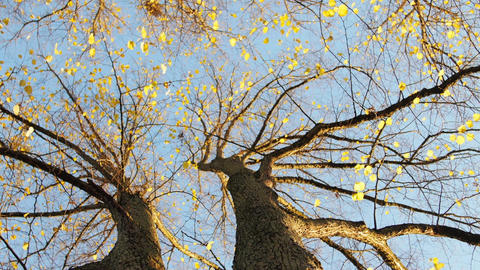 Autumn Tree with Yellow Leaves Archivo