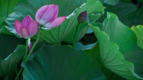 Lotus #006 Image