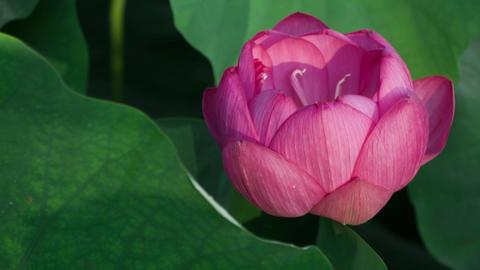 Lotus #007 Archivo