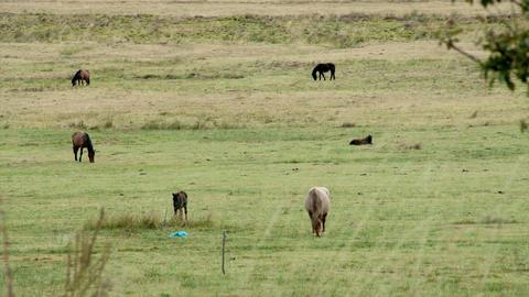 Field of horses grazing ビデオ