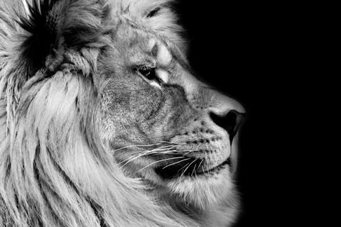 Poster lion Fotografía