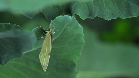 Butterfly laying eggs on green leaf Footage