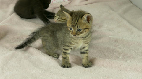 Striped kitten standing in front of litter Footage