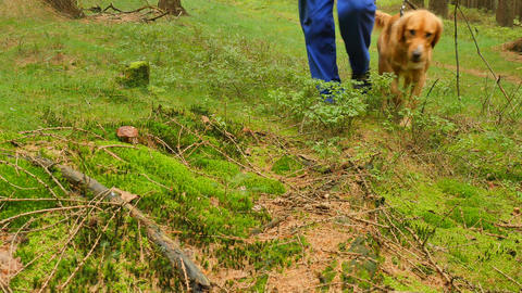 Man with golden dog on leash makes mushroom hunting. Man in blue trousers and Footage