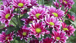 Beautiful chrysanthemum flowers. Closeup shot of blooming chrysanthemum flower Footage