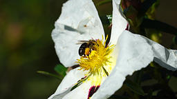 Honey bee on flower Footage