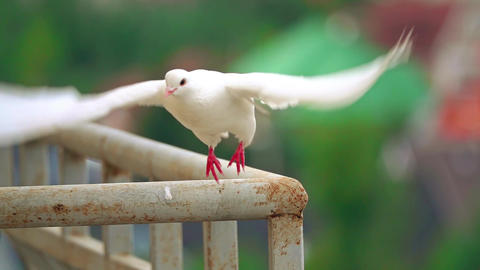 Super slow motion shot of a white pigeon flying off a handrail Footage