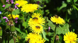 Bees on dandelion Footage