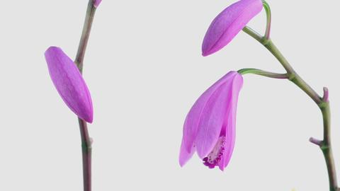 Blooming Flowers Time Lapse, Bletilla striata ライブ動画
