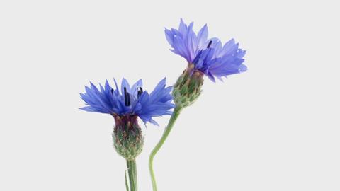 Blooming Flowers Time Lapse, Centaurea cyanus ライブ動画