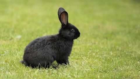 Black Rabbit On Green Grass Filmmaterial