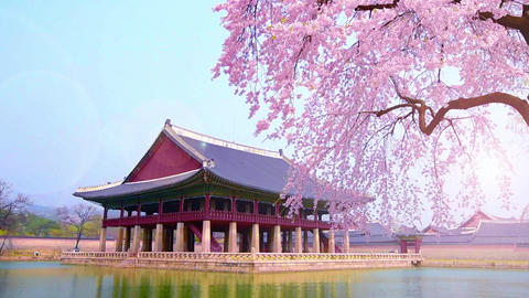 cherry blossom in spring of Gyeongbokgung Palace in seoul,korea Live Action