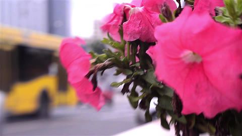 Auto traffic urban scene that is seen after a bush of pink flowers planted in a  Footage