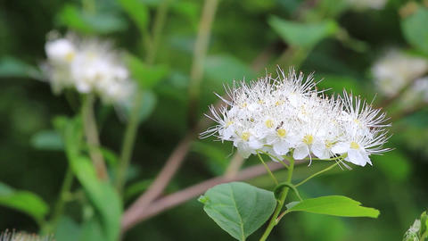 Blooming white flowers with small petals in the wind. Flies come and sit on them Footage