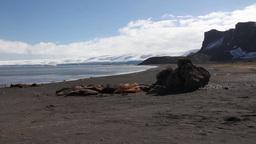 Elephant Seals sleepin on the shore Footage