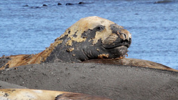 Elephant Seal Rest Near The Sea stock footage