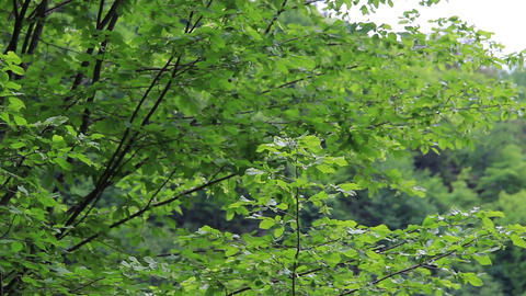 Leafy tree branches in the wind Green leaves on branches moving in the wind 5 Footage