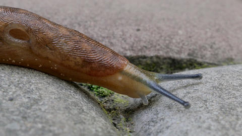 Dusky Slug Crawling On A Road Live Action
