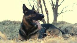 German shepherd dog lies on grass and gnaws stick Footage