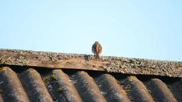 Small birdie sitting on roof edge Footage