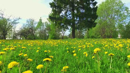 POV Walking in dandelions, Passing, Stepping Footage
