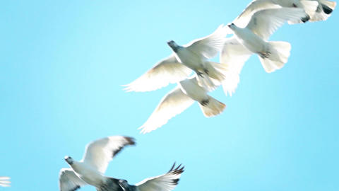 Flying flock of white pigeons against blue sky Image