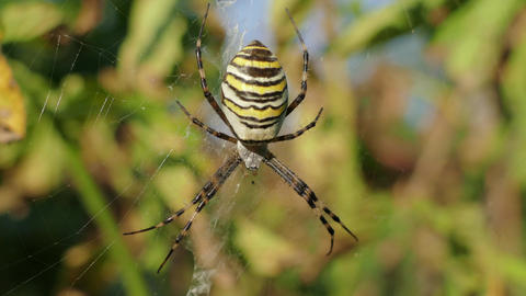 Wasp Spider In Its Web Filmmaterial