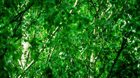 Waving birch leaves and branches in summer forest Footage