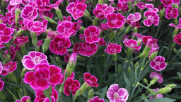 Dianthus flower in bloom 2 Footage