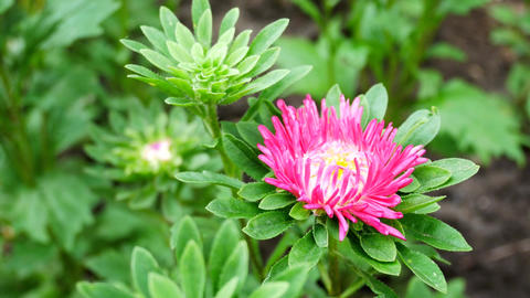 Pink Aster Flower in the Home Garden Develops on the Wind Footage