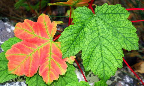 Red and green leaves Photo