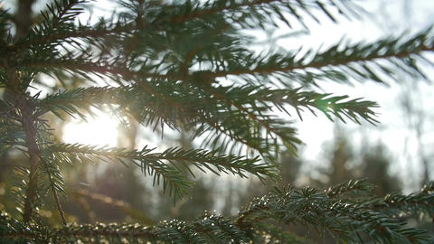 Sunset panoramic view of magical forest scene with play of sun through pine Footage