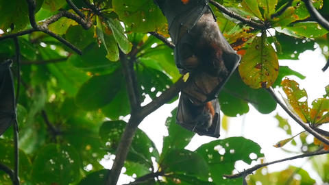 Flying foxes hanging on a tree branch and washing up Live Action