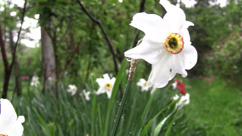 Spring has arrived in the garden. White and delicate daffodils have bloomed. A s Footage