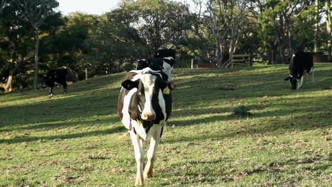 Dairy Cow Walking Towards Camera stock footage