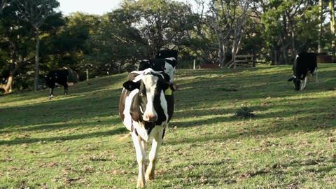 Dairy cow walking towards camera Footage
