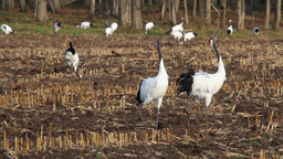 Red crowned Crane makes sound Footage