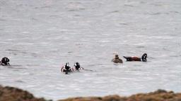 Harlequin ducks flock Footage
