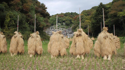 Rice drying in japan Footage