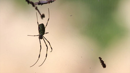Spider on Webs Footage